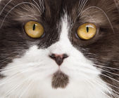 Close-up of a British Longhair looking at the camera — Stock Photo