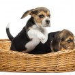 Two Beagle puppies playing in a wicker basket, isolated on white — Stock Photo #34931825