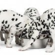 Group of Dalmatian puppies eating all together, isolated on whit — Stock Photo