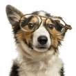 Close-up of a Border collie with old fashioned glasses, isolated — Stock Photo