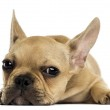 French Bulldog puppy lying down, looking at the camera, isolated — Stock Photo