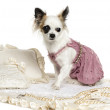 Dressed-up Chihuahua sitting on a carpet, isolated on white — Stock Photo