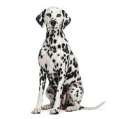 Dalmatian sitting, looking at the camera, isolated on white — Stock Photo