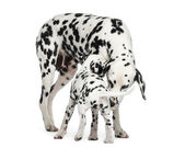 Dalmatian adult and puppy sniffing each other, isolated on white — Stock Photo