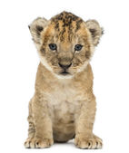 Lion cub, 4 weeks old, isolated on white — Stock Photo