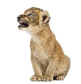 Lion cub roaring, sitting, isolated on white — Stock Photo