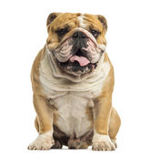 English Bulldog sitting, panting, isolated on white — Stock Photo