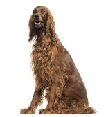 Irish Setter sitting, panting, isolated on white — Stock Photo