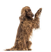 Irish Setter sitting, pawing up, isolated on white — Stock Photo