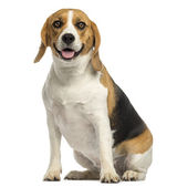 Beagle sitting, panting, isolated on white — Zdjęcie stockowe