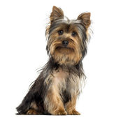 Yorkshire terrier sitting, looking at the camera, isolated on wh — Stock Photo