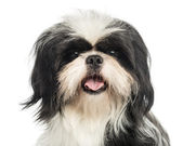 Close-up of a Shi tzu panting, looking at the camera, isolated o — Stock Photo