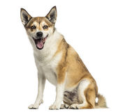 Norwegian Lundehund panting, sitting, isolated on white — Stock Photo