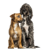 Brittany Briard crossbreed dog and jack russel sitting together, — Stock Photo