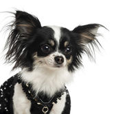 Close-up of a dressed up Chihuahua, isolated on white — Stock Photo