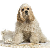 American cocker spaniel sitting, isolated on white — Stock Photo