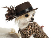 Close-up of a Chihuahua wearing a hat, isolated on white — Stock Photo