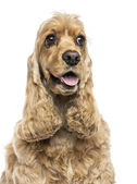 Close-up of an English Cocker Spaniel, panting, isolated on whit — Stock Photo