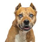 American staffordshire terrier, keuchend, isoliert — Stockfoto
