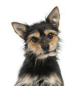 Close-up of a mixed-breed dog looking at the camera, isolated o — Stock Photo
