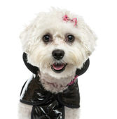 Close-up of a dressed-up Maltese panting, isolated on white — Stock Photo