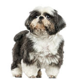 Shi tzu standing, isolated on white — Stock Photo
