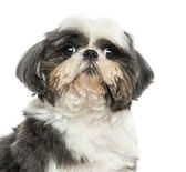 Close up of a Shi Tzu, isolated on white — Stock Photo