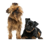 Two Griffon Bruxellois with interrogative look, isolated on whit — Stock Photo