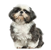 Shi tzu sitting, looking at the camera, isolated on white — Stock Photo