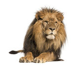 Front view of a Lion lying, Panthera Leo, 10 years old, isolated — Stock Photo
