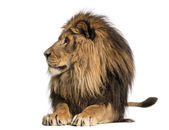 Lion lying, looking away, Panthera Leo, 10 years old, isolated o — Stock Photo