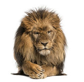 Front view of a Lion lying, crossing paws, Panthera Leo, 10 year — Stock Photo