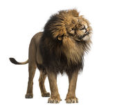 Lion standing, roaring, Panthera Leo, 10 years old, isolated on — Stock Photo
