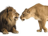 Lion and lioness sniffing each other, Panthera leo, isolated on — Stock Photo