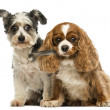 Cavalier King Charles Spaniel with a feather in its mouth and Cr — Stock Photo