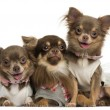 Group of dressed-up Chihuahuas panting, looking at the camera — Stock Photo