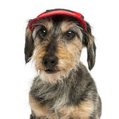 Close-up of a Dachshund wearing a cap, 15 years old, isolated on — Stock Photo