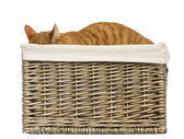 European shorthair hiding in a wicker basket, isolated on white — Stock Photo