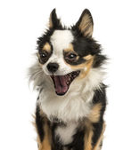 Close-up of a Chihuahua yawning, 4 years old, isolated on white — Stock Photo