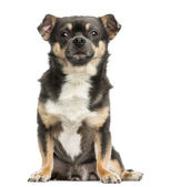 Front view of a Chihuahua sitting, 4 years old, isolated on whit — Stock Photo