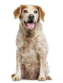Old Brittany dog with eye cysts, panting, 12 years old, isolated — Stock Photo
