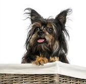 Close-up of a Mixed breed dog between Chihuahua and Yorkshire, i — Stock Photo