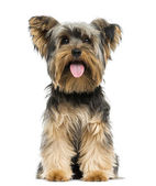 Front view of a Yorkshire Terrier sitting, panting, 9 months old — Stock Photo
