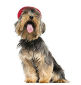 Yorkshire Terrier with a cap, panting, looking up, 9 months old, — Stock Photo
