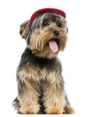 Yorkshire Terrier wearing a cap, sitting, panting, 9 months old, — Stock Photo