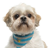 Close-up of a Shih tzu with a bandana, isolated on white — Stock Photo