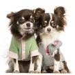 图库照片: Two dressed-up Chihuahuas sitting next together, isolated