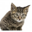 Front view of an European shorthair kitten lying, looking at the — Stock Photo #36560943