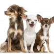 Group of Chihuahuas sitting, 2 years old, isolated on white — Stok fotoğraf