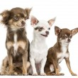 Group of Chihuahuas sitting, 2 years old, isolated on white — Stock Photo